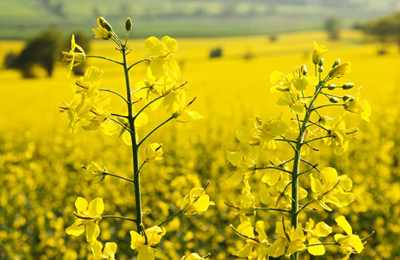 Еврокомиссия вспупает против ГМО рапса
