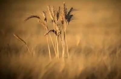 поле с пшеницей