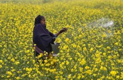 закончены полевые испытания ГМО горчицы в Индии