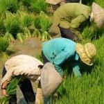 рис и выбросы метана