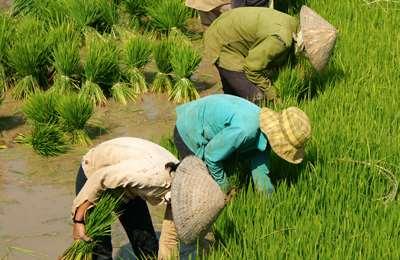 новый гмо рис