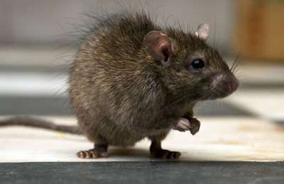лабораторная крыса
