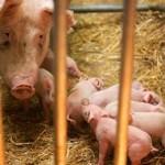 выведение измененных свиней