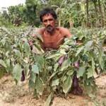 ГМО баклажан в Бангладеш