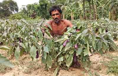Бангладеш и выращиваемый баклажан