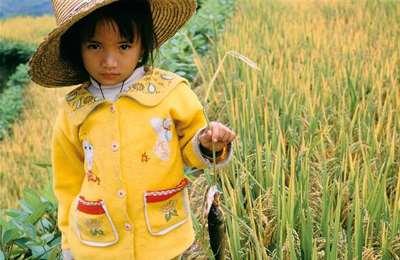 девочка среди золотого риса