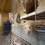 изучение почек крыс