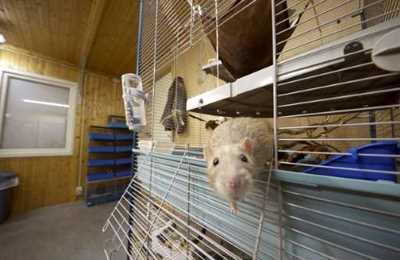 проблемы с почками у крыс