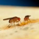 трансгенные мухи в Испании