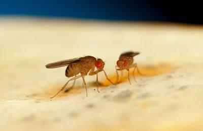 выпуск мух в Испании