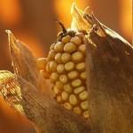 фермеры отказываются от покупки ГМО