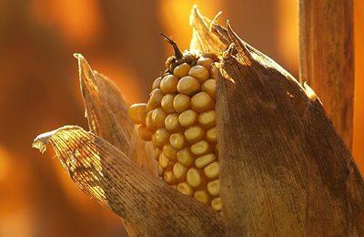 фермеры не хотят выращивать трансгены