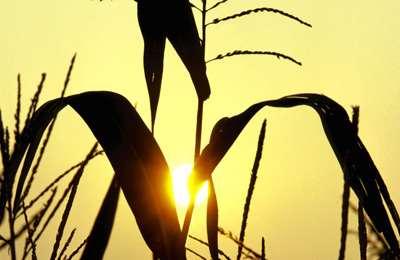 американская кукуруза в Китае