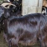 коз кормили трансгенной соей