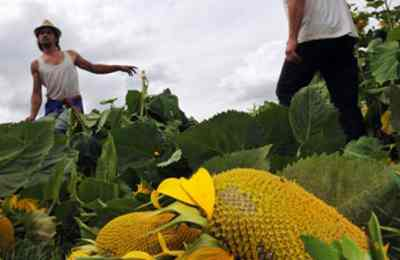 ГМО в Калифорнии