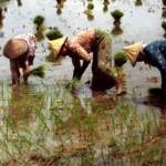 последствия выращивания золотого риса