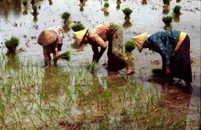 индийский ученый о золотом рисе