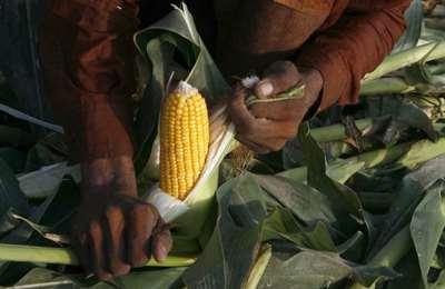 Пакистан и ГМ кукуруза