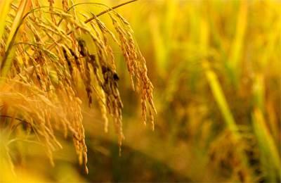 созревший золотой рис