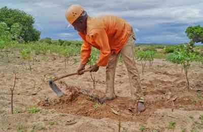 возделывание ГМО в Африке