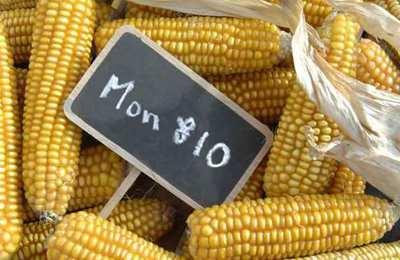кукуруза MON810 в европе