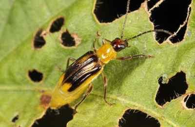 кукурузный корневой жук на листе