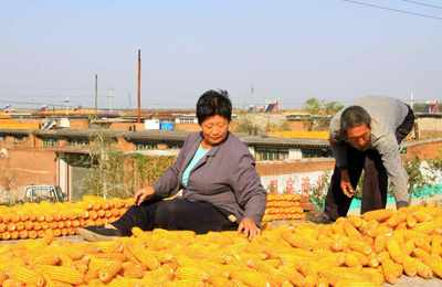 неразрешенная ГМо кукуруза в Китае