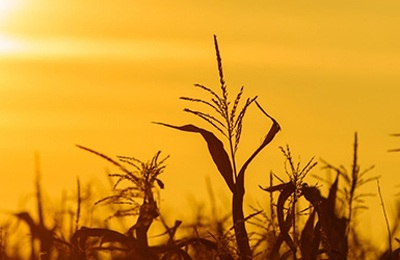 россия запрещает кукурузу