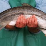 запрет в Америке на ввоз ГМ лосося