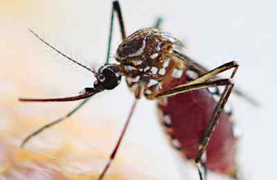 вирус зика и ГМО комары