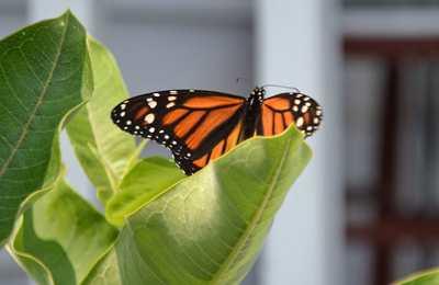 исчезновение бабочек монарх