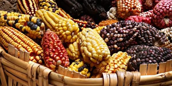 местные сорта мексиканской кукурузы