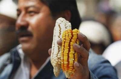 о запрете высевания ГМО кукурузы в Мексике