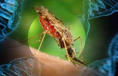 выпуск комаров в США