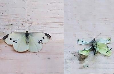 гмо культуры и деформация у бабочек