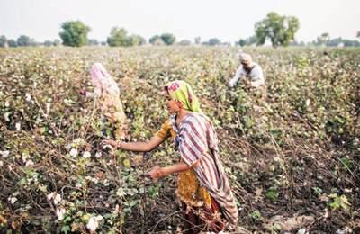 неурожаи ГМО хлопка в Индии