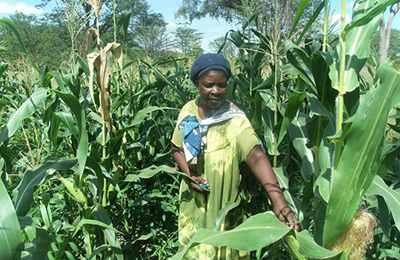 посевы ГМО кукурузы в Намибии