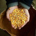 споры об урожае ГМО