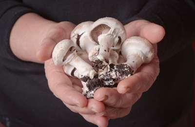 гриб с отредактированным геном