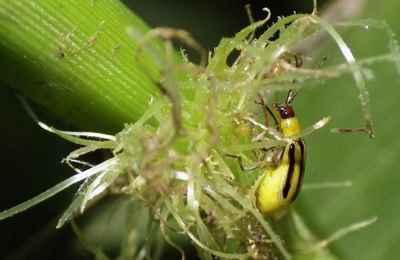 западный кукурузынй жук развивает устойчивость