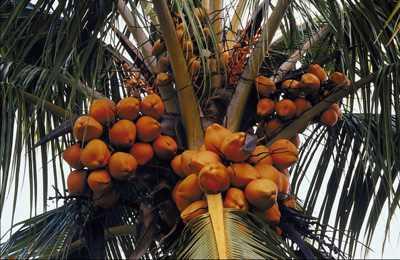 генетически модифицированный кокос