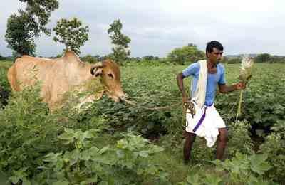 Индия против ГМО