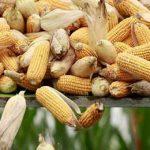Китай и ее соя и кукуруза