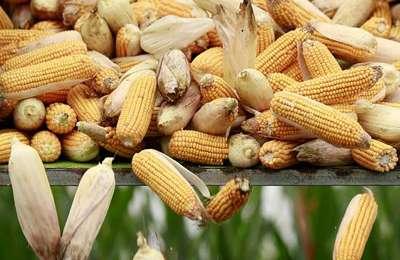 Китай заинтересован в ГМО
