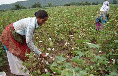 почему Индия выращивает ГМО хлопок