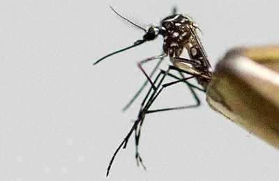 выпуск ГМО комаров в США