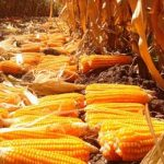 кукуруза с витамином А