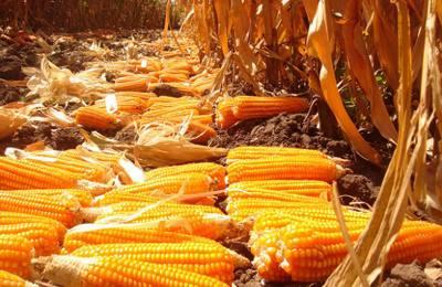 оранжевая кукуруза