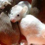 ГМО наносит вред крысам