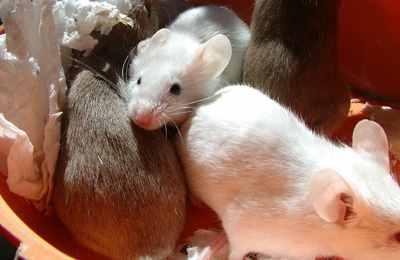 исследование над крысами